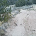 A jackrabbit sits on the road just as I approach my chosen campsite