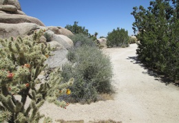 Cactii, Desert almond and Junipers abound at this campsite