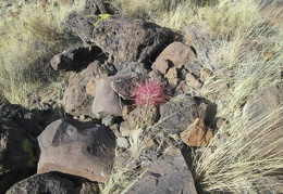 Cool, a baby Barrel cactus sprouting here in the gulley