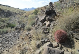 And here's another little Barrel cactus on its way to adulthood