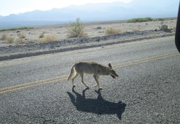 "I pull over to the shoulder when I see one of Death Valley's ""begging coyotes"" sauntering around"
