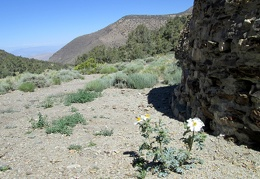 A prickly poppy is growing in front of one of the charcoal kilns
