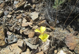 I pass what I think is a Mojave poppy along the trail