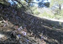 A patch of verbenas bloom in the shade along the trail up to Wildrose Peak