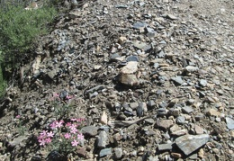 A few phlox flower n the loose rock on the trail up to Wildrose Peak
