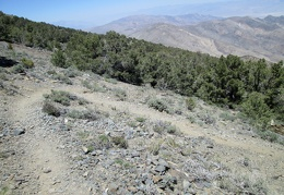 Switchbacks on the Wildrose Peak Trail make the descent easier on the knees