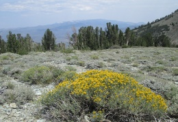 Blooming Rabbitbrush at Emma Lake