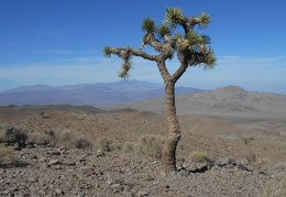 I look past a sculptural Joshua tree over to Owl Peak again, thinking of yesterday's hike over there