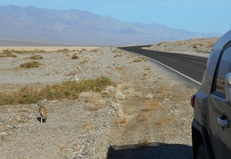 A bit south of Badwater, I pull over to watch one of Death Valley's famous begging coyotes