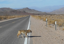 I guess I'm too close; Mr./Ms. Coyote saunters away from me