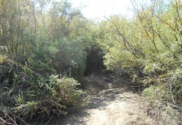 The Amargosa River Trail passes through some brush ahead
