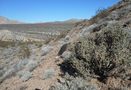 On the way back down to the FJ, I pass a robust Pencil Cholla cactus