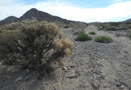 Here's a healthy Cholla cactus