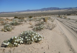 So many Desert primroses...