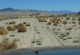 My road has become two tire tracks across the sand, primroses and tumbleweeds