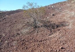The branches of this creosote bush sweep the ground when the wind blows, as it so often does
