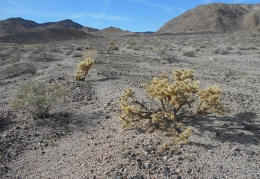 As I approach the Owlshead Mountains, I pass a few cholla cacti