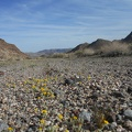 A few patches of woolly sunflower grow in this wash along with the Desert primroses