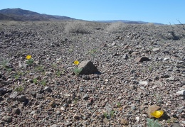 I pass a few desert poppies as I start my hike up into the Quail Mountains
