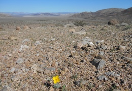 And there's another desert poppy