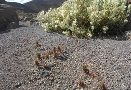 I pass a few more pink Bigelow's moneyflowers and many white flowers on a Desert stingbush