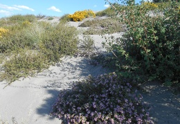 A patch of purple phacelia flowers in the sand surprises me