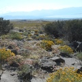 From Cowtrack Mountain, I look across buckwheats and rabbitbrush to the Sierras