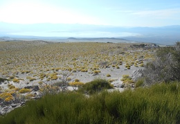 Beyond the row of ephedra bushes, miles of yellow rabbitbrush lead down to Mono Lake
