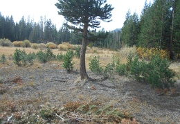 I walk over to Sawmill Meadow itself and see many baby pine trees growing