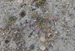 I almost walk on these little California aster-like flowers
