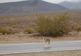 Good-night coyote, I'm off to Panamint Springs for a campsite, restaurant meal and beer