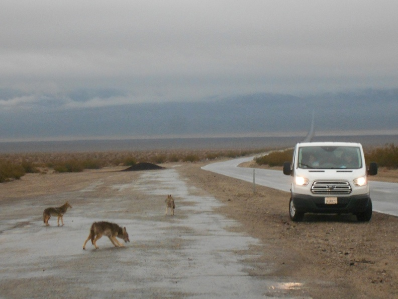 Near Panamint Springs is a group of begging coyotes for me to stop and watch