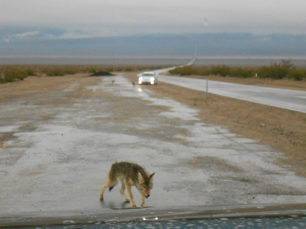 This coyote approaches the FJ in the hope of receiving a hand-out