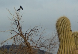 A pair of ravens play around atop a leafless tree at Panamint Springs campground