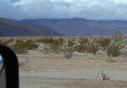 I drive down Hwy 190 and see yesterday's coyotes still at roadside, still begging, waiting