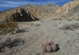 A cottontop cactus leads me deeper into Dolomite Canyon