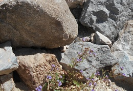 I almost miss this phacelia blooming amongst the rocks in Lippincott Wash