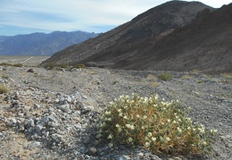 A desert rock nettle lays claim to this stretch of Waucoba Saline Road