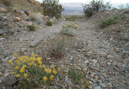 Some yellow flowers grow in the road up to Bunker Hill Mine