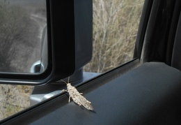 A grasshopper jumps into the FJ, hoping to hitch a ride