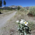 A prickly poppy blooms along the road, with Crater Mountain in the background