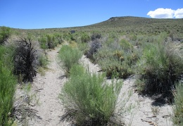 Maturing rabbitbrush grows in the crown of the road