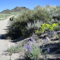 Yellow buckwheats and purple lupines adorn the shoulder of the road