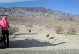 I pull over to watch people feed begging coyotes along Panamint Valley Road