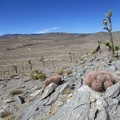 A few cottontop cacti grow in the rocks on the hill