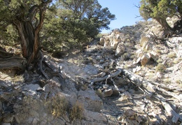 Some of the juniper trees here are very old and twisted