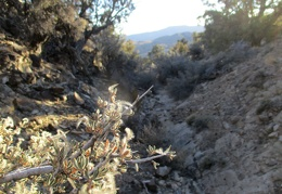 Mountain mahogany grows here too
