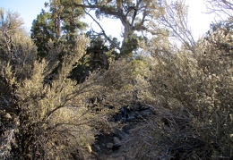 I duck under some mountain mahogany closing in on the gully, my trail