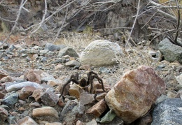 A tarantula, my first sighting of the trip!