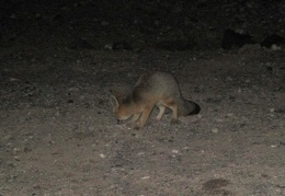 After dark, I get to watch a fox digging for something near the FJ!